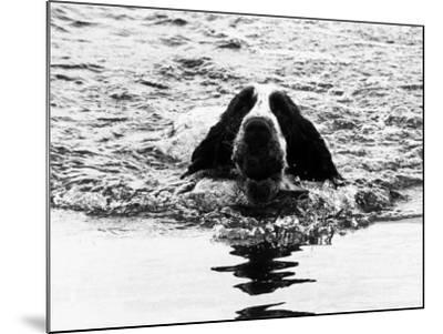 Skye the St. Bernard Dog Swimming--Mounted Photographic Print