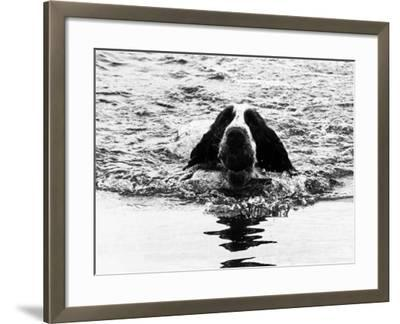 Skye the St. Bernard Dog Swimming--Framed Photographic Print