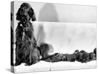Wendy My Pride a Red Setter with a Litter of Eleven New Born Puppiesy London, December 1968--Stretched Canvas Print