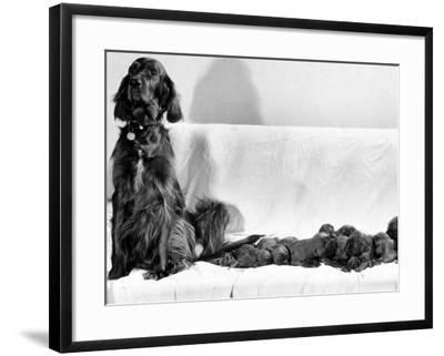 Wendy My Pride a Red Setter with a Litter of Eleven New Born Puppiesy London, December 1968--Framed Photographic Print