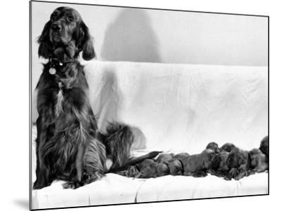 Wendy My Pride a Red Setter with a Litter of Eleven New Born Puppiesy London, December 1968--Mounted Photographic Print