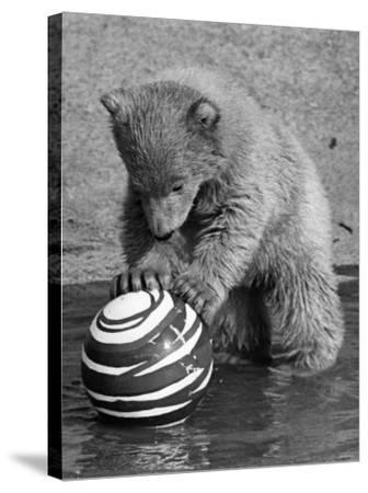 Pipaluk with Sally, His Mum, Playing with a Ball at London Zoo Today. March 1968--Stretched Canvas Print