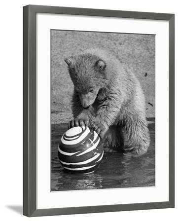 Pipaluk with Sally, His Mum, Playing with a Ball at London Zoo Today. March 1968--Framed Photographic Print