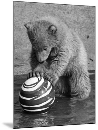Pipaluk with Sally, His Mum, Playing with a Ball at London Zoo Today. March 1968--Mounted Photographic Print