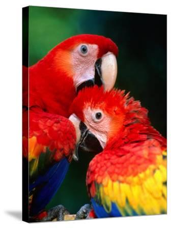 Pair of Preening Scarlett Macaw (Ara Macao), Puntarenas, Costa Rica-Ralph Lee Hopkins-Stretched Canvas Print