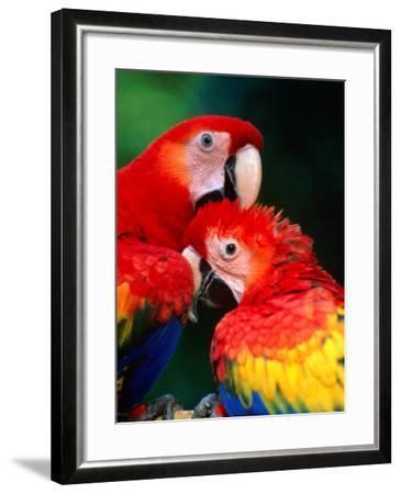 Pair of Preening Scarlett Macaw (Ara Macao), Puntarenas, Costa Rica-Ralph Lee Hopkins-Framed Photographic Print