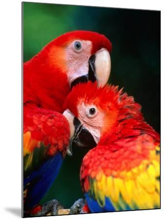 Pair of Preening Scarlett Macaw (Ara Macao), Puntarenas, Costa Rica-Ralph Lee Hopkins-Mounted Photographic Print