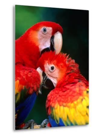 Pair of Preening Scarlett Macaw (Ara Macao), Puntarenas, Costa Rica-Ralph Lee Hopkins-Metal Print