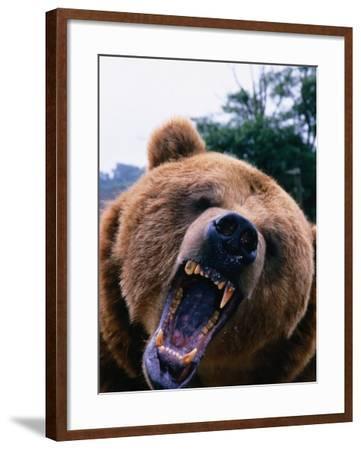 Grizzly Bear (Ursus Arctos), Denali National Park & Preserve, Alaska, USA-Mark Newman-Framed Photographic Print
