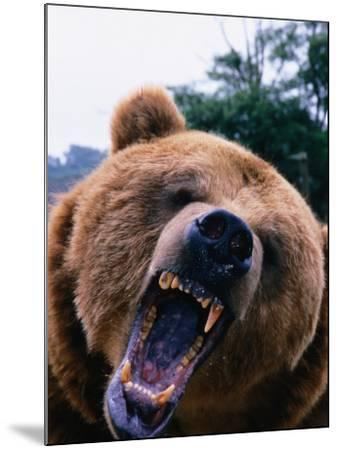 Grizzly Bear (Ursus Arctos), Denali National Park & Preserve, Alaska, USA-Mark Newman-Mounted Photographic Print