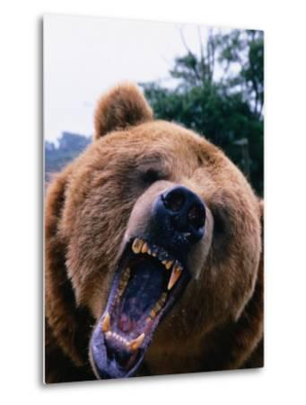 Grizzly Bear (Ursus Arctos), Denali National Park & Preserve, Alaska, USA-Mark Newman-Metal Print