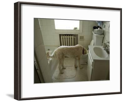 Dog Drinks Out of a Toilet-Joel Sartore-Framed Photographic Print