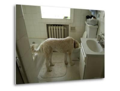Dog Drinks Out of a Toilet-Joel Sartore-Metal Print