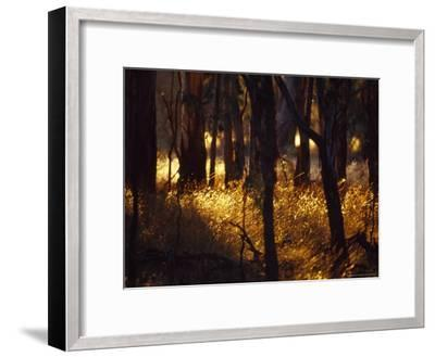 Sunset Falls Over Seeding Grasses and Tree Trunks in Late Summer-Jason Edwards-Framed Photographic Print