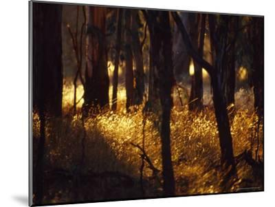 Sunset Falls Over Seeding Grasses and Tree Trunks in Late Summer-Jason Edwards-Mounted Photographic Print