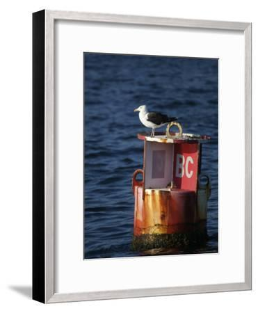 Great Black-Backed Gull on a Navigational Bouy in Gloucester Harbor-Tim Laman-Framed Photographic Print