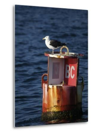 Great Black-Backed Gull on a Navigational Bouy in Gloucester Harbor-Tim Laman-Metal Print