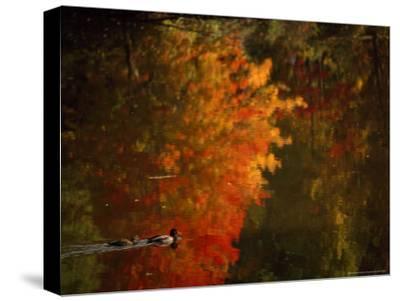 Mallard and Its Mate Create a Wake in a Colorful Fall Scene-Brian Gordon Green-Stretched Canvas Print