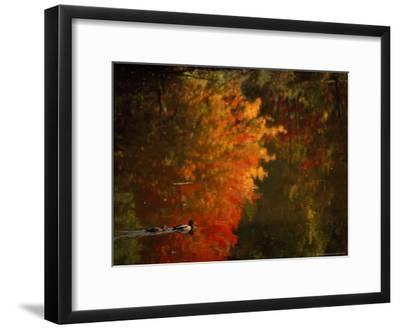Mallard and Its Mate Create a Wake in a Colorful Fall Scene-Brian Gordon Green-Framed Photographic Print