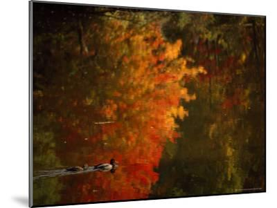 Mallard and Its Mate Create a Wake in a Colorful Fall Scene-Brian Gordon Green-Mounted Photographic Print