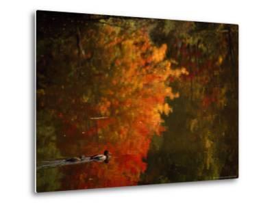 Mallard and Its Mate Create a Wake in a Colorful Fall Scene-Brian Gordon Green-Metal Print