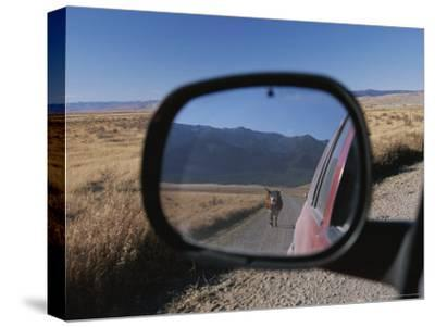 Cattle on a Dirt Road are Reflected in the Rear View Mirror of a Car-Raymond Gehman-Stretched Canvas Print