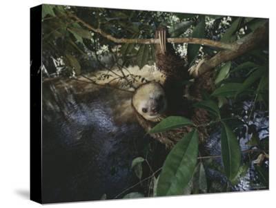 Sloth-Mattias Klum-Stretched Canvas Print