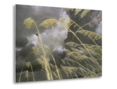 Sea Oats Grow Along a Dune on a South Carolina Barrier Island-Annie Griffiths Belt-Metal Print