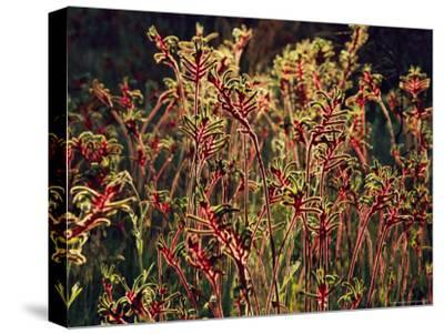 Field of Red and Green Kangaroo Paws-Jonathan Blair-Stretched Canvas Print