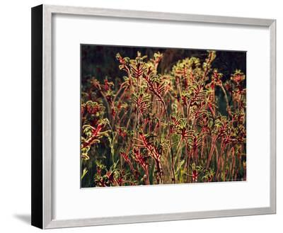 Field of Red and Green Kangaroo Paws-Jonathan Blair-Framed Photographic Print