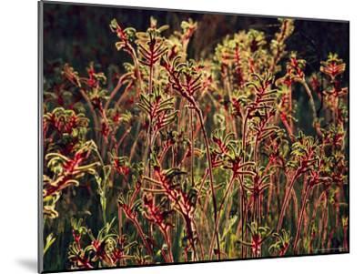 Field of Red and Green Kangaroo Paws-Jonathan Blair-Mounted Photographic Print