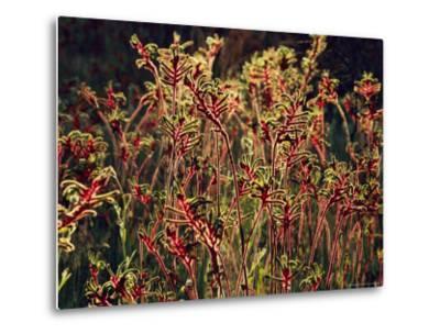 Field of Red and Green Kangaroo Paws-Jonathan Blair-Metal Print