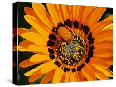 South African Monkey Beetle Burrows Deep Into a Gazania Flower-Jonathan Blair-Stretched Canvas Print