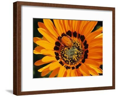 South African Monkey Beetle Burrows Deep Into a Gazania Flower-Jonathan Blair-Framed Photographic Print