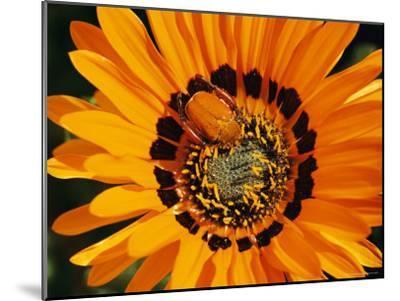 South African Monkey Beetle Burrows Deep Into a Gazania Flower-Jonathan Blair-Mounted Photographic Print
