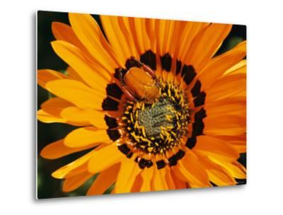 South African Monkey Beetle Burrows Deep Into a Gazania Flower-Jonathan Blair-Metal Print