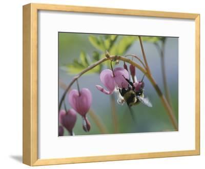 Close View of a Bee on a Bleeding Heart Blossom-Darlyne A^ Murawski-Framed Photographic Print