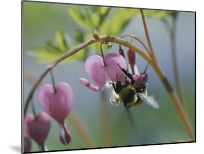 Close View of a Bee on a Bleeding Heart Blossom-Darlyne A^ Murawski-Mounted Photographic Print