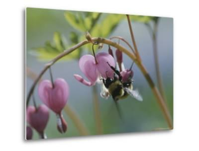 Close View of a Bee on a Bleeding Heart Blossom-Darlyne A^ Murawski-Metal Print