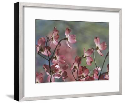 Close View of Pink Dogwood Blossoms-Darlyne A^ Murawski-Framed Photographic Print