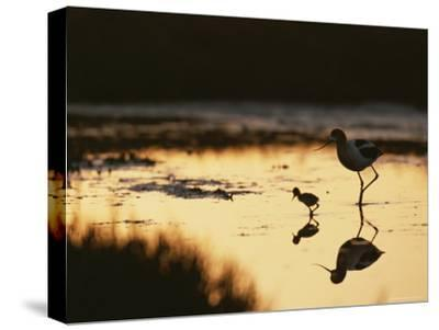An American Avocet and Her Chick Wade in a Marsh at Sunrise-Roy Toft-Stretched Canvas Print