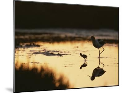 An American Avocet and Her Chick Wade in a Marsh at Sunrise-Roy Toft-Mounted Photographic Print