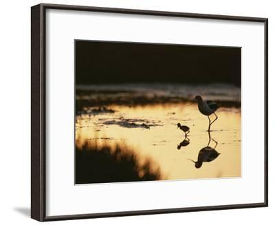 An American Avocet and Her Chick Wade in a Marsh at Sunrise-Roy Toft-Framed Photographic Print