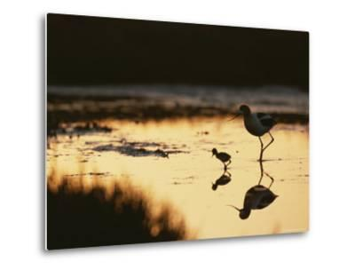 An American Avocet and Her Chick Wade in a Marsh at Sunrise-Roy Toft-Metal Print