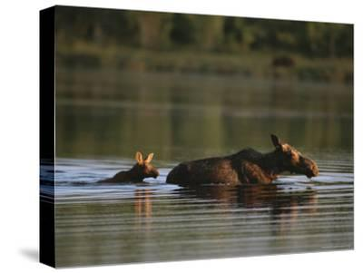 Female Moose and Her Calf in a Maine Lake-Roy Toft-Stretched Canvas Print