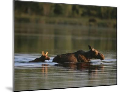 Female Moose and Her Calf in a Maine Lake-Roy Toft-Mounted Photographic Print