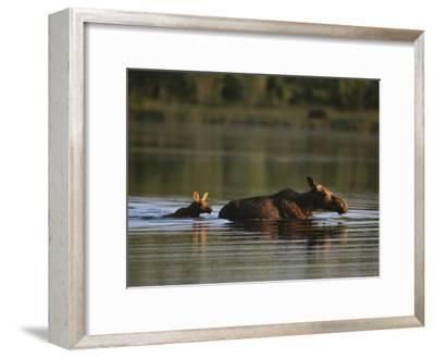 Female Moose and Her Calf in a Maine Lake-Roy Toft-Framed Photographic Print