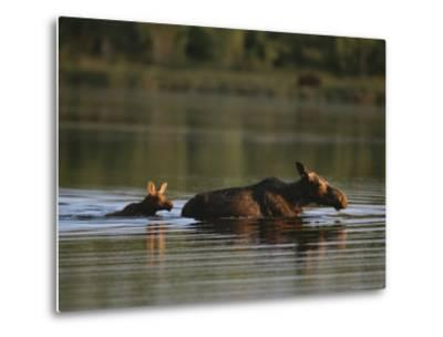 Female Moose and Her Calf in a Maine Lake-Roy Toft-Metal Print