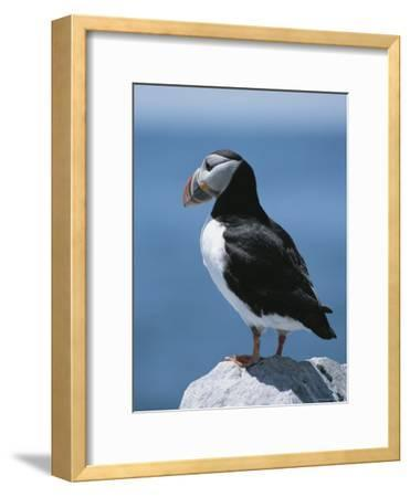 An Atlantic Puffin Perched on a Rock-Roy Toft-Framed Photographic Print