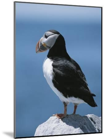 An Atlantic Puffin Perched on a Rock-Roy Toft-Mounted Photographic Print